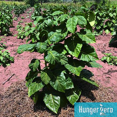 ツリートマトの栽培.jpg